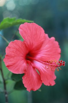 Used as a primary ingredient in many herbal beverages, hibiscus flower is also used by herbalists to support bowel function and urination. In Traditional Chinese Medicine, hibiscus is used to support skin health.