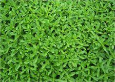 Όλα όσα πρέπει να ξέρετε για τη Στέβια και τα άλλα γλυκαντικά (Stevia rebaudiana)