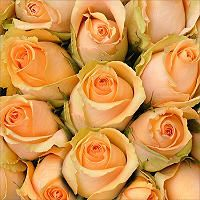 Roses - Peach - 100 Stems - Sam's Club