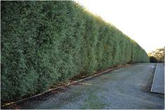 Pittosporum Silver Sheen, Privacy Walls, Garden Makeover, Back Gardens, Hedges, Garden Design, Palm, Country Roads, Backyard