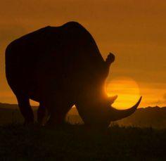 Rhino with sunset
