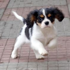 The traits we all respect about the Smart Cavalier King Charles Spaniel Pup King Charles Puppy, Cavalier King Charles Dog, King Charles Spaniel, Spaniel Breeds, Spaniel Puppies, Springer Spaniel, Cocker Spaniel, Cavalier King Spaniel, Dog Competitions