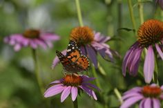 Plant coneflowers (Echinacea) in your garden to attract butterflies! Cut Flowers, Purple Flowers, White Flowers, Best Perennials, Hardy Perennials, Cranesbill Geranium, How To Attract Birds, Growing Seeds, Native Plants