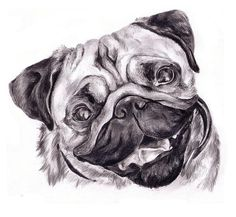 pencil drawings of pugs | Pug Drawing by Cassandra Gallant - Pug Fine Art Prints and Posters for ...