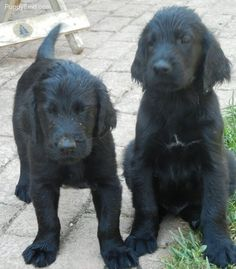 flat coated retriever puppies! What my Riley looked like when she was a puppy!