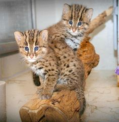 Fishing Cat kittens get clean bill of health. Story @zooborns.com and more pics too.