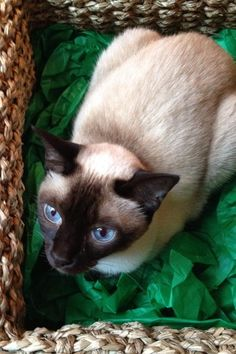 Ricky Gervais's cute Siamese cat