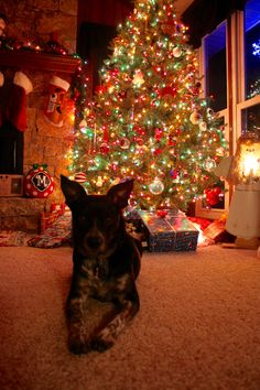 Border Collie/Blue Heeler Mix | Christmas Tree | Puppy Christmas