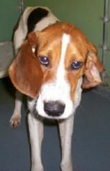 VIRGINIA URGENT ~ Monty is a 3y/o 35bs adoptable male Hound Dog in Amelia. Impound - 1/28/13 Release date - 2/4/13 ~ He was hanging around someone's house & they dropped him by the shelter.  Monty gets along with  dogs. AMELIA COUNTY ANIMAL SHELTER  16565 Five Forks Road   Amelia, VA 23002   Mon-Thur & Sat 10a-12p    Fri & Sun we're closed to the public   If you are unable to visit us during regular business hours   please call the shelter & an app't can be made PH 804-561-3878