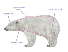 Bears are different from cats or dogs, so they aren't be drawn as intuitively. I can show you how to draw four of the most popular bears in a quick and realistic way