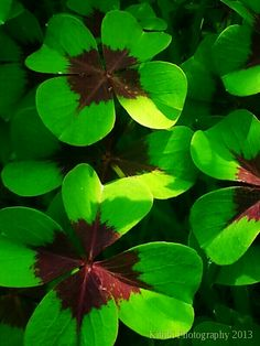 Lotto lucky, kelly green, green, Missouri Botanical Garden