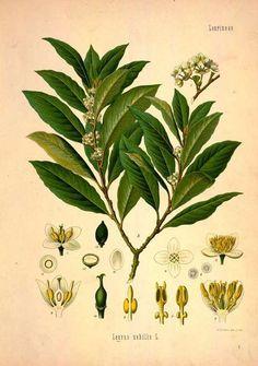 bay botanical drawing - Google Search