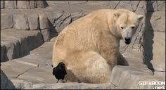gifsboom:  Video: Baby Polar Bear Tries to Attack Crow