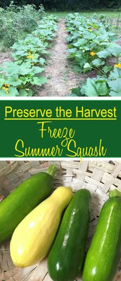 Preserve the abundance of the backyard harvest by storing it properly by freezing summer squash like yellow crooked neck and black beauty zucchini. Freezing Yellow Squash, Yellow Summer Squash, Yellow Squash Recipes, Summer Squash Recipes, Crookneck Squash Recipes, Freezing Vegetables, Veggies, Canning Vegetables, Growing Squash