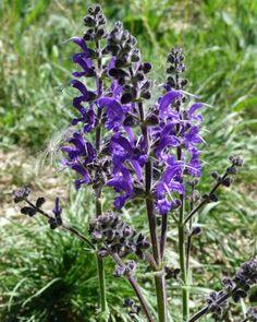 Meadow Clary Deborah Lawrenson: Wild flower meadows