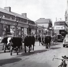 Cattle being driven to old cattle mart in Phibsborough, Dublin. Old Pictures, Old Photos, Retro Pictures, Dublin Market, St Peter's Church, Images Of Ireland, Photo Engraving, Ireland Homes, Dublin City