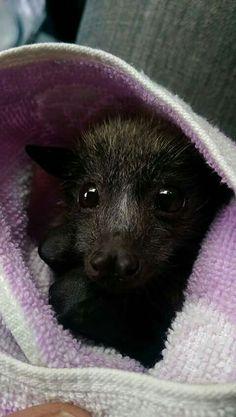 They look like a puppy. Cute Baby Bats, Cute Bat, Murcielago Animal, Beautiful Creatures, Animals Beautiful, Animals And Pets, Funny Animals, Bat Species, Bat Flying