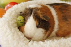 guinea pig sleeping wallpapers - Buscar con Google