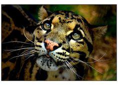 Clouded Leopard (Ben), Kent UK