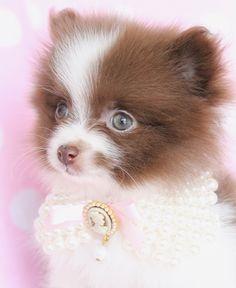 gorgeous pomeranian puppy