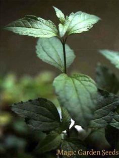 JIAOGULAN yaiogulan Chinesisch Magie Gynostemma pentaphyllum 50 Saatgut seeds