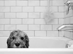 Stinkin' adorable.  My dog does not sit still in the bathtub long enough to look this pathetic.  He tries to get out the moment he is put in.