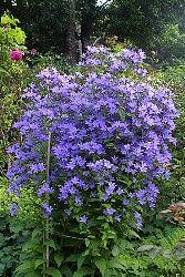 Campanula Lactiflora Pritchard's variety