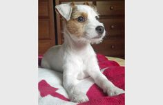 Looking for the best Parson Russell Terrier pictures, photos & images? Check out some of the cutest Parson Russell Terrier dog pictures you've ever seen! John Russell, Jack Russell Dogs, Parson Jack Russell, Pitbull Terrier, Terrier Dogs, Terrier Mix, Cute Puppies, Dogs And Puppies, Mixed Breed Puppies