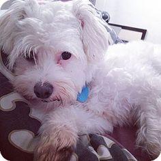 Orange, CA - Maltese Mix. Meet Harper, a dog for adoption. http://www.adoptapet.com/pet/11272964-orange-california-maltese-mix