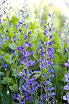 underused perennials that can add color and interest to your garden. You may have to search for them at your garden center or an online source, but they're all worth the effort. Here are 15 of our favorite underused perennials. Flowers Perennials, Planting Flowers, Flowers Garden, Flower Gardening, Spring Perennials, Full Sun Perennials, Zone 4 Perennials, Peonies In The Garden, Yellow Perennials