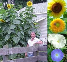 Handsome man! This is a great 10'x10' playhouse. The vines grow up the mammoth sunflowers. You tie string from head to head and it makes a roof. Fun to sit and watch the birds!