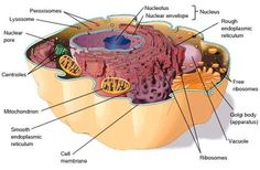 структура животной клетки structure of animal cell