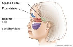 sinus cavities from the side