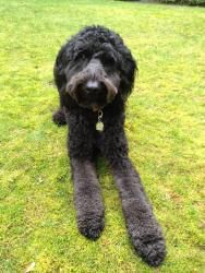 WA - Marcus is an adoptable Standard Poodle Dog in Lake Stevens, WA. MEET MARCUS - AVAILABLE - NO INQUIRIES WITHOUT APPLICATION (Link Below) - PLEASE READ ENTIRE AD Available within the Seattle Area O...