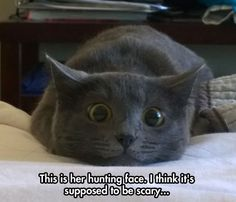 A Natural Born Predator - LOLcats is the best place to find and submit funny cat memes and other silly cat materials to share with the world. We find the funny cats that make you LOL so that you don't have to. Cute Funny Animals, Funny Animal Pictures, Funny Cute, Cute Cats, Hilarious, Adorable Kittens, Scary Funny, Cake Pictures, School Pictures