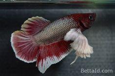 9800 Koleksi Gambar Ikan Cupang Big Ear Gratis Terbaik