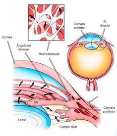 #GLAUCOMA:  El humor acuoso del ojo tiene que renovarse constantemente, por lo que si falla el sistema de drenaje, la presión intraocular aumenta y daña el #nervioóptico.
