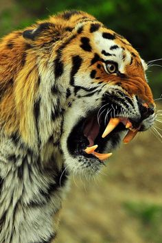 brazenbvll: Wild Tigers Roaring → (©)