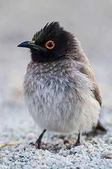 African Red-eyed Bulbul chick, spotted at Augrabies Falls National Park in the Northern Cape, South Africa Three Birds, Kinds Of Birds, All Birds, Little Birds, South African Birds, Funny Birds, Colorful Birds, Bird Watching, Bird Feathers