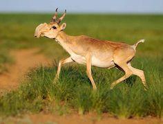 サイガ かつて「オオハナカモシカ」と呼ばれたほど鼻の大きい奇妙な顔の偶蹄目ウシ科の哺乳類。カフカスからキルギスを経てモンゴルに至る草原に生息する。大きな鼻は砂塵を除去する働きがあると言われている。