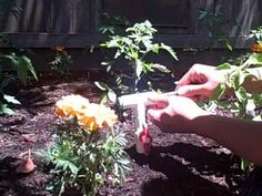 """Part 6 of 7 How to Build a Raised Bed Garden: Drip Irrigation Install 1/2"""" PVC to Drip Tube"""