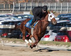 A flying Groupie Doll works at Belmont Park, November 25, 2013. Coglianese Photos/Susie Raisher