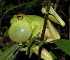 40 Really Amazing Tree Frog Pictures 35
