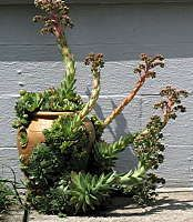 Sempervivum  Linnaeus  (Houseleeks, Hens and Chicks) Name: Latin: = always living, Hen dies after flowering. Flowers produce seeds. Requires full sun and good drainage.+