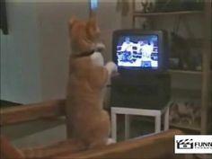 Pisica care invata sa boxeze de la televizor!!!