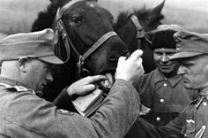 A German vet dentist checks the teeth of an army horse. The German army remained very much dependent on horses for the long Russian marches. It is estimated that some 600,000 horses were present in the first wave of Barbarossa. Most of these proud animals perished in battle or fell to disease, cold, and malnutrition.