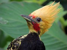 Foto pica-pau-de-cabeça-amarela (Celeus flavescens) por Daniel Berbare
