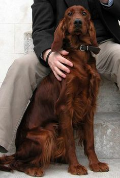 Pin by Location monte on demenagement paris pas cher Beautiful Dogs, Animals Beautiful, Cute Animals, Chien Springer, I Love Dogs, Cute Dogs, Irish Setter Dogs, Red Setter Dog, Cockerspaniel