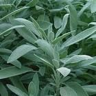 sage is a powerful antioxidant, protecting cells from being damaged by oxidation and forming cancerous cells.