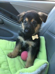 GSD Puppy-Trey